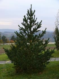 borovice rumelská
